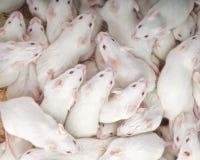 myszy fotografia stock