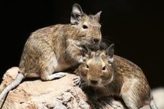 myszy Zdjęcie Royalty Free