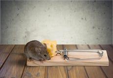 Myszy łasowania ser traprisk Zdjęcia Royalty Free