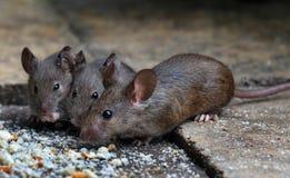 Myszy karmi w domu ogródzie zdjęcie royalty free