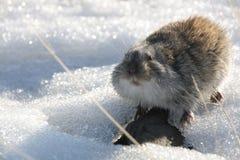 Myszy na śniegu w zimie obrazy stock