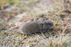 Myszy nornica, zakończenie Zdjęcia Royalty Free