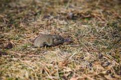 Myszy nornica, zakończenie Obrazy Stock