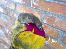 Myszy w ręce Zwyczajne domowe myszy Zdjęcie Stock