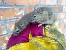 Myszy w ręce Zwyczajne domowe myszy Zdjęcia Stock