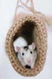 Myszy zerkanie z tunelu dział na białym tle Obraz Stock