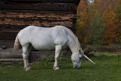 A mythical unicorn grazes in a grassy field beside a barn in Canada royalty free stock image