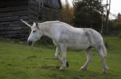 A mythical unicorn grazes in a grassy field beside a barn in Canada. The mythical unicorn grazes in a grassy field beside a barn in Canada royalty free stock images