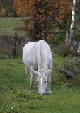 A mythical unicorn grazes in a grassy field beside a barn in Canada stock images