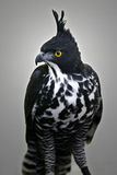Myths Hawk Eagle Stock Photos
