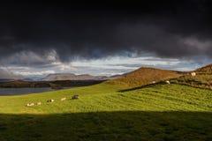 Myvatn,冰岛-在一个火山的火山口一边的绵羊 库存照片