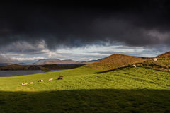 Myvatn, Ισλανδία - πρόβατα στην πλευρά ενός ηφαιστειακού κρατήρα Στοκ Εικόνες