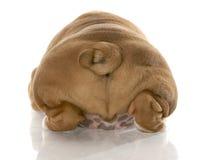 Nádegas do filhote de cachorro Imagens de Stock Royalty Free