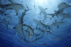 Négaprion柠檬鲨鱼brevirostris/GROUP  库存照片