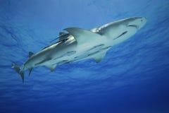 Négaprion brevirostris/LEMON鲨鱼 库存照片