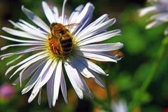 Não uma abelha do parvoíce senta-se em um campo de flor bonito, em um dia morno ensolarado claro foto de stock