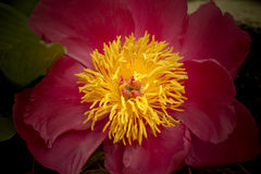 Não uma flor do sol Foto de Stock
