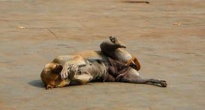 Não veja nenhum cão mau Fotos de Stock Royalty Free