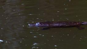 Näbbdjuret dyker för mat 03 arkivfilmer