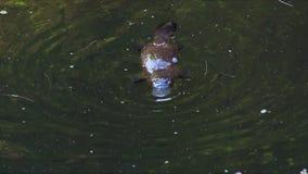 Näbbdjuret dyker för mat 04 stock video