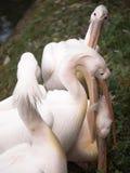 Näbbformiga håll för en pelikan en annan fågel hans huvud Royaltyfri Foto