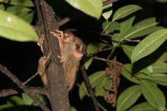 Nächtliches indonesisches Affeporträt des Tarsius Stockfotos