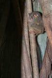 Nächtliches indonesisches Affeporträt des Tarsius Stockbilder