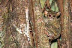 Nächtliches indonesisches Affeporträt des Tarsius Stockfoto