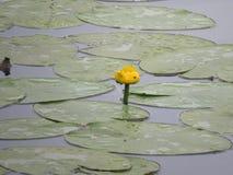 Näckrons blommar på dammet med blått vatten royaltyfri foto