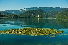 Näckrons med vita blommor på en sjö blödde med kyrkan på den lilla ön i en bakgrund, slovenian fjällängar Arkivfoton