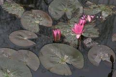 Näckrors är blommande i en sjö i Hanoi (Vietnam) royaltyfri bild