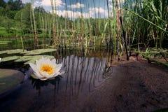 Näckrors i ett damm, vita liljor Royaltyfri Fotografi