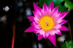 Näckrors i trädgården Royaltyfri Fotografi
