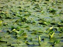 Näckrors liljor i dammet Morgon royaltyfria bilder