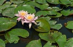 Näckrors på ett damm med mörkt vatten och breda lägenhetgräsplantjänstledigheter Royaltyfri Fotografi