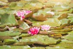 Näckrors på sjön badade i naturligt ljus Royaltyfria Bilder
