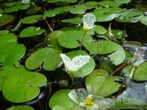 Näckrors på vattnet, i ett damm Royaltyfri Foto