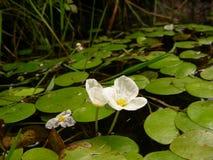 Näckrors på vattnet, i ett frånlands- damm Royaltyfria Foton
