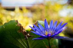 Näckros den blåa Lotus Fotografering för Bildbyråer