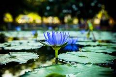 Näckros den blåa Lotus Royaltyfri Fotografi