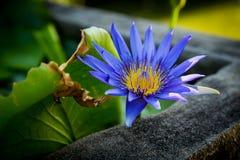 Näckros den blåa Lotus Arkivfoton
