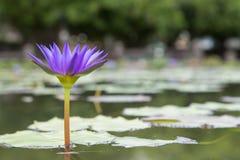 Näckros den blåa Lotus Arkivbild