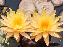 Näckros gul lotusblomma Fotografering för Bildbyråer
