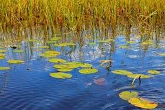 Näckros i en sjö arkivfoton