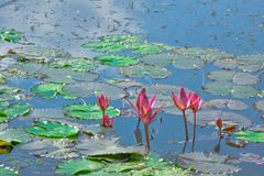 Näckros i en sjö inom en teträdgård Arkivfoto