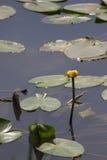 näckros i ett damm i en parkera i Israel Royaltyfri Fotografi