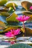 Näckros Lotus Arkivbild