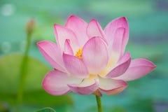 Näckros Lotus Royaltyfri Fotografi
