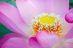 Näckros Lotus Royaltyfri Bild