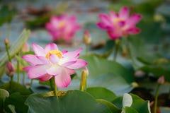 Näckros Lotus Arkivbilder